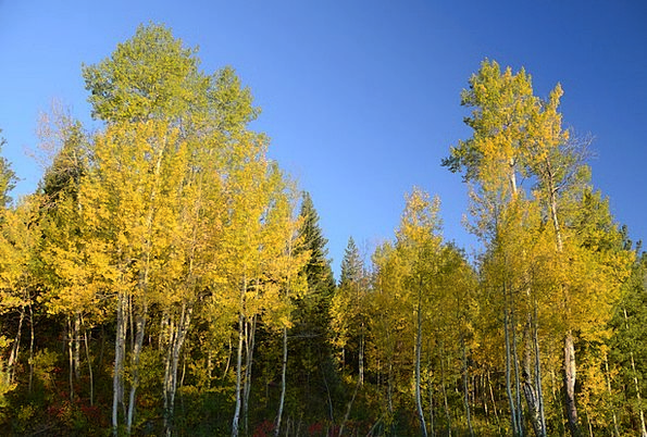 Aspen Landscapes Nature Color Change Aspen Trees G