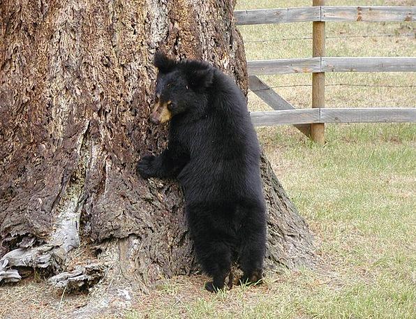 Bear Tolerate Novice Animal Physical Cub Predator
