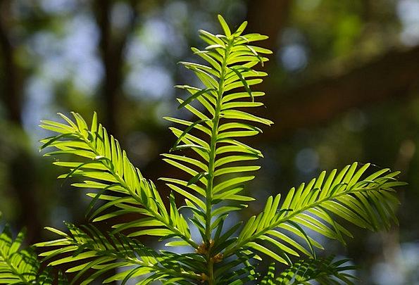 Needles Pointers Needle Branch Yew Ornamental Plan
