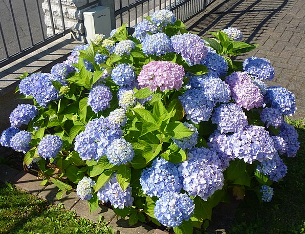 Hydrangea Violet Mauve Greenhouse Hydrangea
