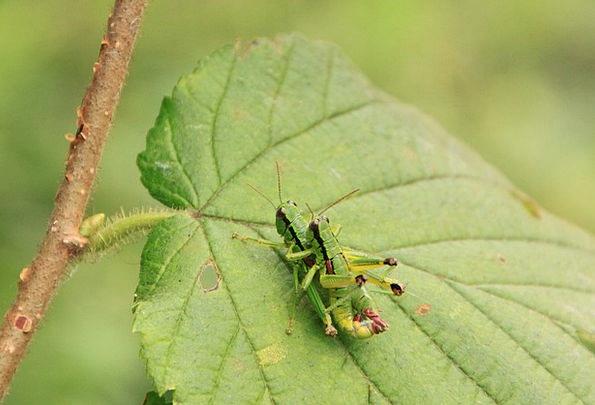Locusts Copulation Copulating Copulate Mating Bree