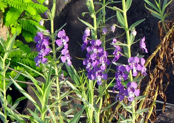 Narrowleaf Angelonia Angel Flower Summer Snapdrago
