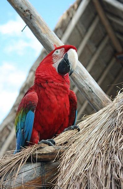 Parrot Imitator Fowl Tropical Hot Bird Mexico Yuca