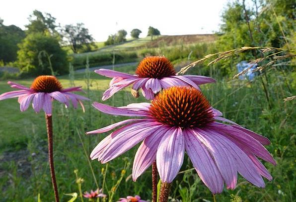 Echinacea Plants Montana Flowers