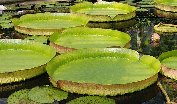 Lily Aquatic Giant Water Lily Water Victoria Amazo