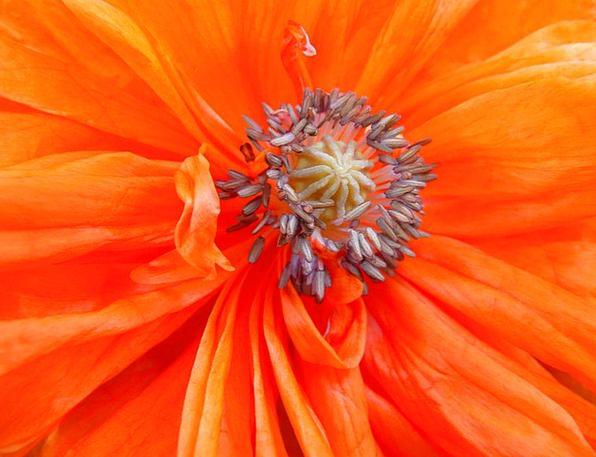 Poppy Floret Red Bloodshot Flower Orange Carroty S