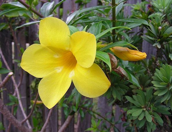 Yellow Creamy Yellow Flowers Yellow Flower Yellow
