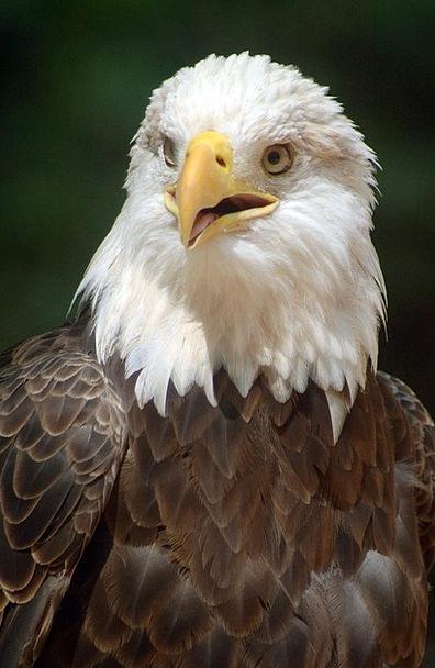 Bald Eagle Bird Fowl Eagle Beak Nature Countryside