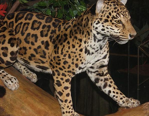 Leopard Carnivore Flesh-eater Big Cat Feline Catli