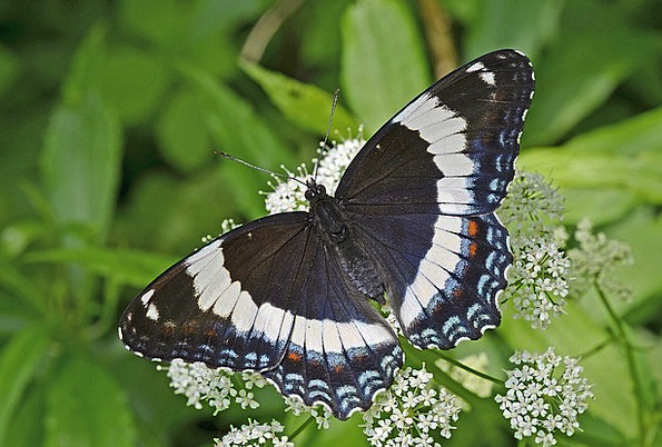 White Admiral Insect Bug Butterfly Wildlife Macro