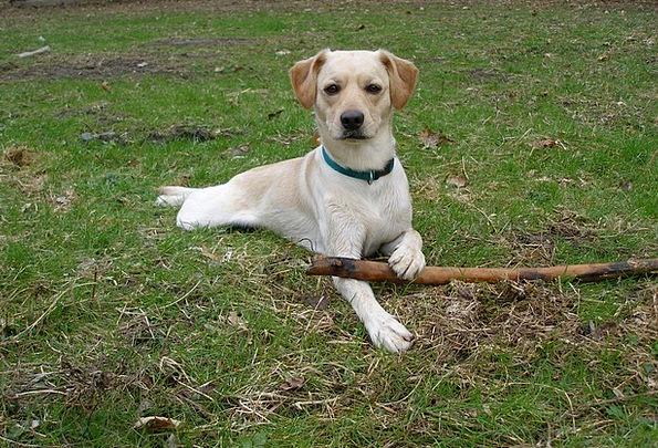 Dog Canine Animals Faunae Labrador