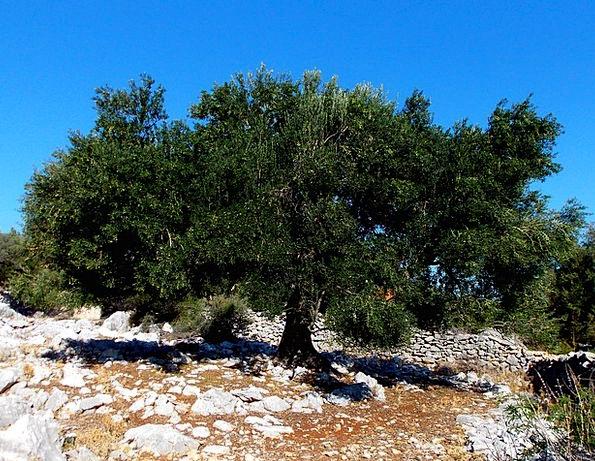 Island Of Rab Landscapes Nature Olivier Olive Tree