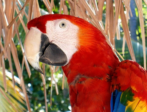 Macaw Fauna Wildlife Ave Bird Fowl Nature Countrys