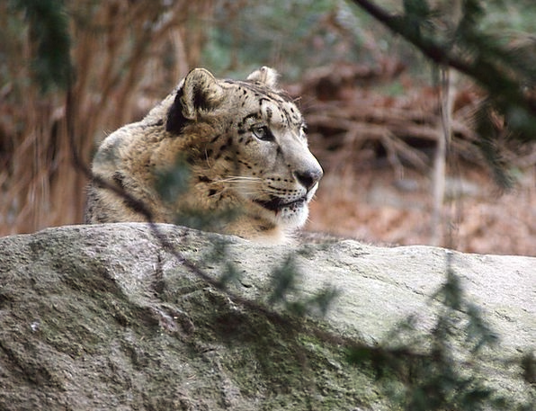 Snow Leopard Animal Physical Leopard Forest Woodla