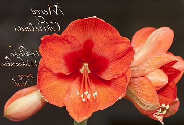 Amaryllis Landscapes Floret Nature Plant Vegetable