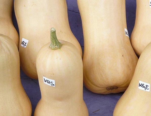 Pumpkin Auction Pear Pumpkin Sale Butter Nut Squas