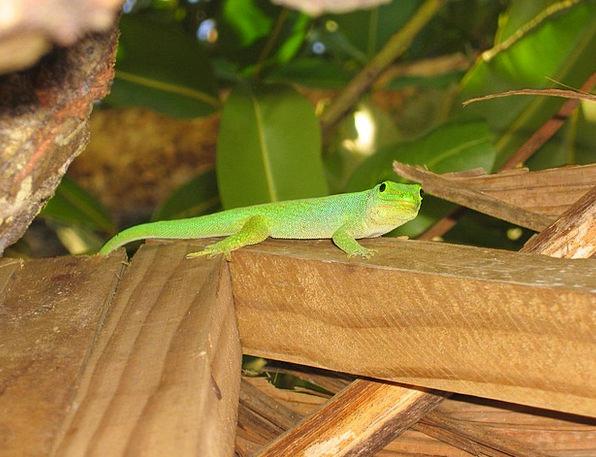 Gecko Lime Lizard Green Green Gecko Seychelles Flo