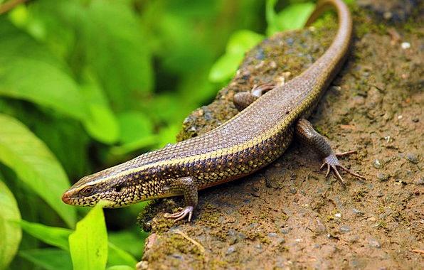 Skink Saap Surli India Avinash Juvenile Lizard Blu