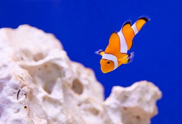 Anemone Physical Aquarium Animal Stripes Clown Jok