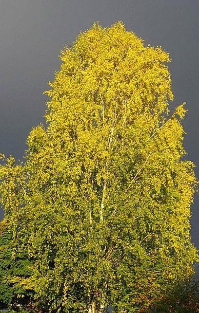 Birch Cane Landscapes Sapling Nature Thunderstorm