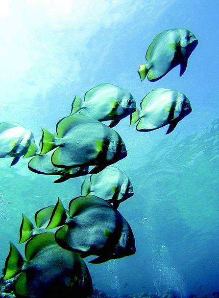 Pisces Angle Underwater Life Fish Sea Marine Divin
