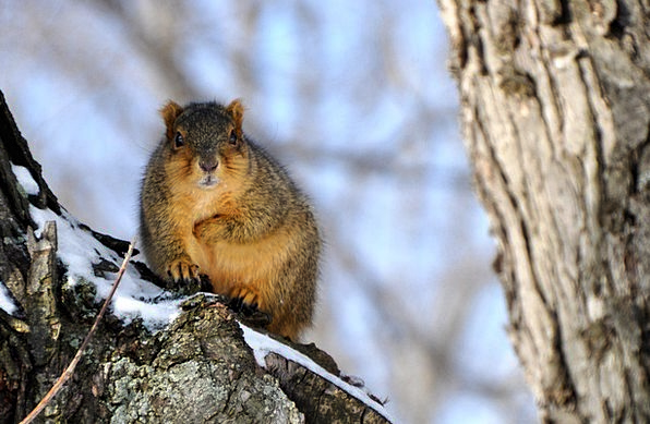 Squirrel Collector Snowflake Perch Roost Snow Wint