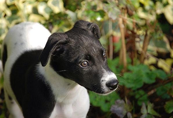 Lurcher Brat Canine Doglike Puppy Dog Pet Black Do