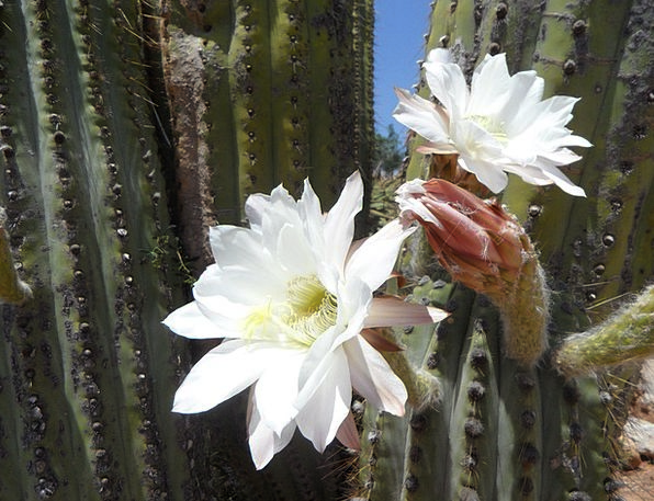 Cactus Blossom Landscapes Nature Cactus Bloom Whit