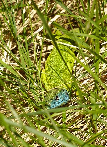 Emerald Lizard Landscapes Nature Lacerta Viridis E