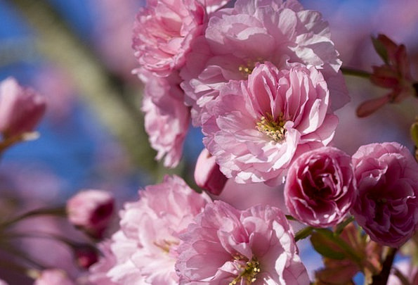 Japanese Peak Cherry Pink Flowering Flower Floret