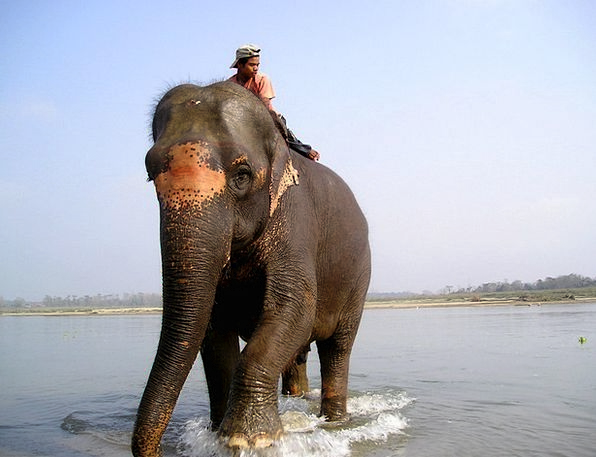 Nepal Monster Elephant Driver Elephant