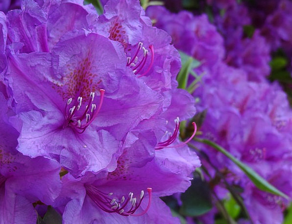 Rhododendron Flower Floret Ericaceae Purple Elabor