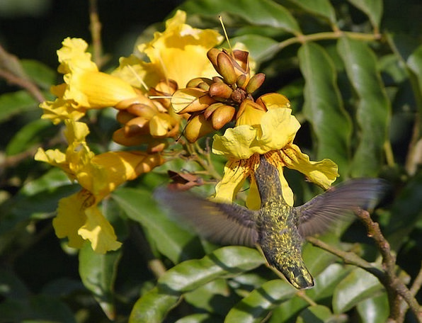 Hummingbird Drink Food Nectar Liquid Flower Nectar