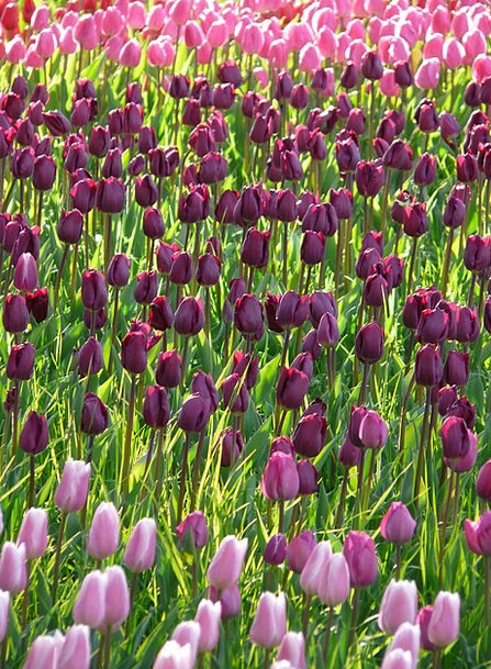 Tulip Field Violet Mauve Tulips Tulpenbluete Dark