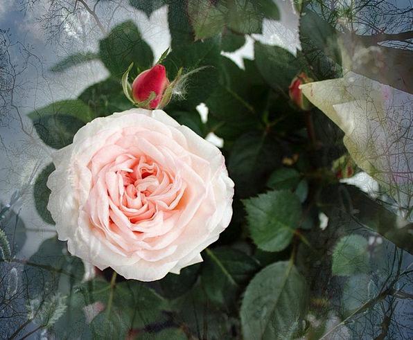 Rose Design Floret Pink Flushed Flower