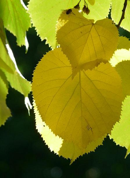 Lipovina Greeneries Jagged Sharp Leaves Light Edge