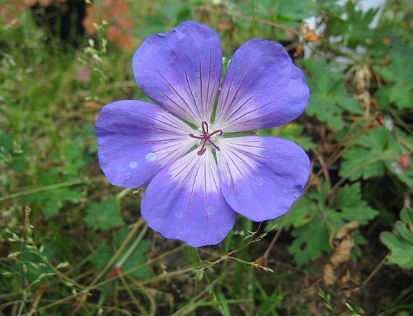 Flower Floret Azure Summer Straw-hat Blue Garden P