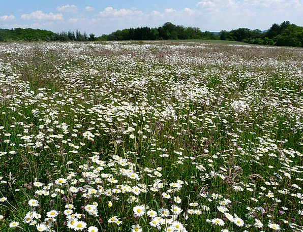 Mager meadow field flower meadow meadow paid feverfew sea of mager meadow field flower meadow meadow paid fever mightylinksfo