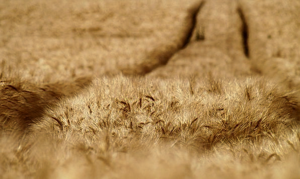 Cornfield Landscapes Arena Nature Cereals Mueslis