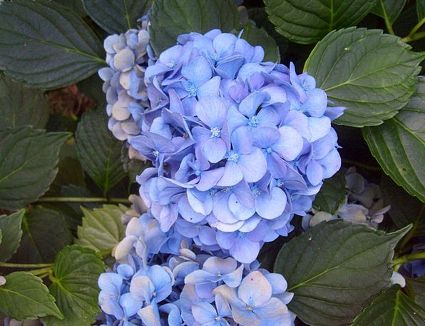 Hydrangea Azure Purple Elaborate Blue Macrophylla
