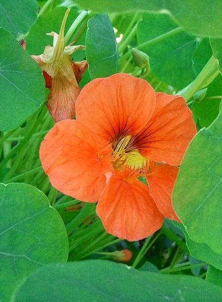 Nasturtium Landscapes Carroty Nature Flower Floret