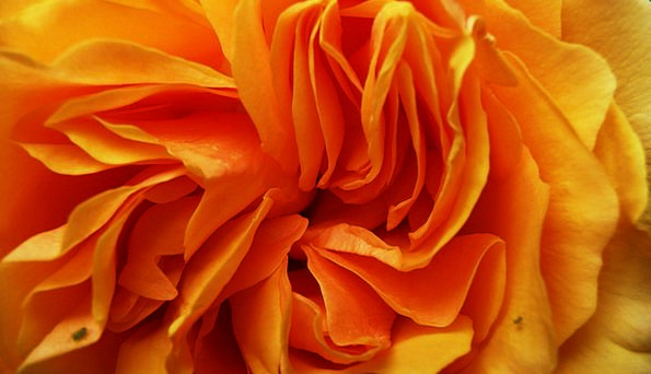 Orange Carroty Floret Petals Flower Floral Macro I