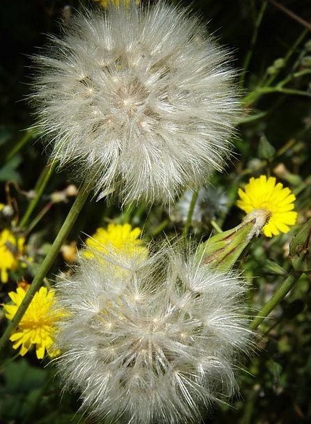 Dandelion Field Arena Wild Flowers Spring Coil Bea