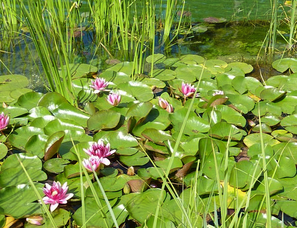 Water Lilies Landscapes Nature Nature Countryside