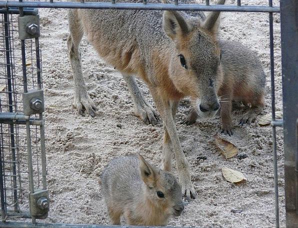 Large Mara Bunny Small Animals Rabbit Caviidae You