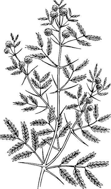 Acacia Landscapes Sapling Nature Leaf Tree Plant V
