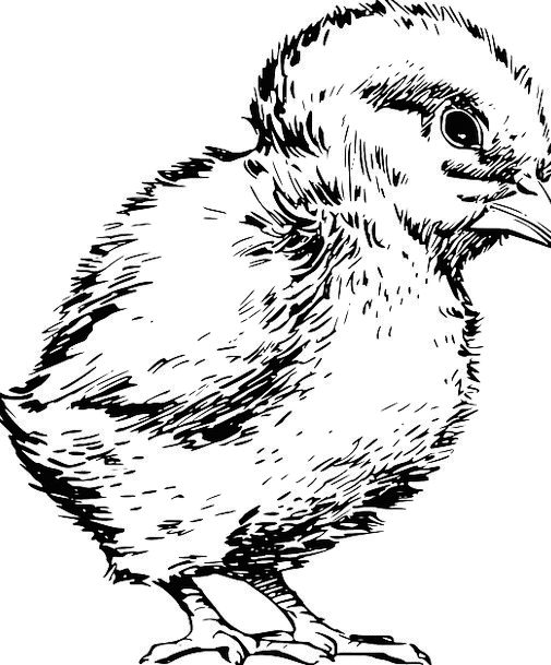 Chick Chicken Fowl Baby Darling Bird Feather Small