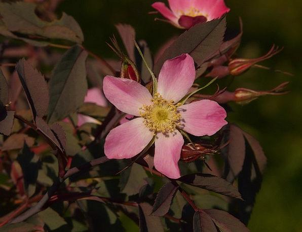 Dog Rose Pink Flushed Hagros Or Wild Rose Flower F