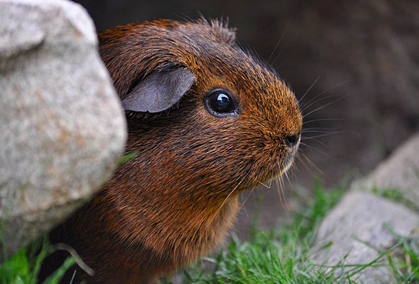 Guinea Pig Landscapes Nature Cute Attractive Roden