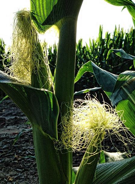 Corn Goo Drink Food Maize Cob Corn Cob Food Nouris
